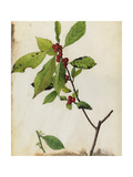 A Painting of American Winterberry and its Fruit and Blossoms Giclée-vedos tekijänä Mary E. Eaton