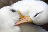 A Pair of Black-Browed Albatrosses Preening and Canoodling Each Other Fotografisk trykk av Ira Meyer
