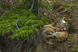 Young Cougars Rest under a Pine Tree in Wyoming's Bridger Teton National Forest 写真プリント : スティーブ・ウィンター
