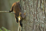 Pine Marten (Martes Martes) in Tree, Beinn Eighe National Nature Reserve, Wester Ross, Scotland Photographic Print by Mark Hamblin