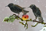 Starlings (Sturnus Vulgaris), Adults Perched on Branch in Winter Feeding on Apple Reproduction photographique par Michel Poinsignon