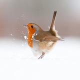 Robin (Erithacus Rubecula) Displaying in Snow, Nr Bradworthy, Devon, UK Fotografie-Druck von Ross Hoddinott