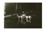 A Doe and Her Fawns are Caught by a Camera Fotografisk tryk af George Shiras