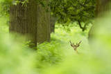 Fallow Deer (Dama Dama) Amongst Bracken in Oak Woodland, Cheshire, UK Photographic Print by Ben Hall