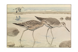 A Painting of Willets in Both Winter and Summer Plumage Reproduction procédé giclée par Louis Agassi Fuertes