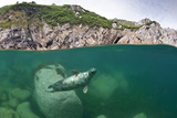Atlantic Grey Seal (Halichoerus Grypus) Swimming Beneath the Surface, Lundy Island, Devon, England Fotografie-Druck von Alex Mustard