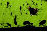 Leafcutter Ants (Atta Sp) Colony Harvesting a Banana Leaf, Costa Rica Fotografie-Druck von Bence Mate