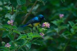 A Beautiful Iridescent Blue Bird on a Branch of Flowers Photographic Print by Bob Smith