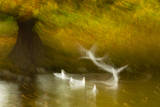 Black Headed Gull (Chroicocephalus Ridibundus) Taking Flight, Artistically Blurred Photograph Photographic Print by Ben Hall