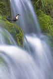 Dipper (Cinclus Cinclus) Perched on Moss-Covered Waterfall, Peak District Np, Derbyshire, UK Photographic Print by Ben Hall