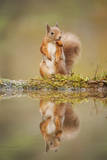 Red Squirrel (Sciurus Vulgaris) at Woodland Pool, Feeding on Nut, Scotland, UK Photographic Print by Mark Hamblin