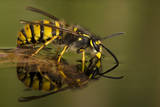 Common Wasp (Vespula Vulgaris) Drinking at Water's Surface from Floating Leaf Photographic Print by Andy Sands