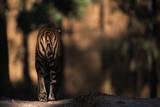 Rear View of Male Bengal Tiger Walking {Panthera Tigris Tigris} Kanha Np, India Fotografie-Druck von Nick Garbutt