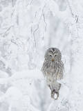 Ural Owl (Stix Uralensis) Resting in Snowy Tree, Kuusamo, Finland Fotografisk trykk av Markus Varesvuo