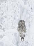 Ural Owl (Stix Uralensis) Resting in Snowy Tree, Kuusamo, Finland Fotografie-Druck von Markus Varesvuo