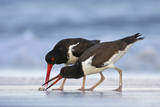 Young American Oystercatcher (Haematopus Palliatus) Snatching Food from Adult on the Shoreline Reproduction photographique par Mateusz Piesiak