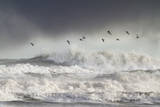 Curlews (Numenius Arquata) Group Flying over the Sea During Storm Reproduction photographique par Ben Hall