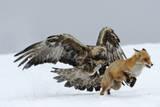 Golden Eagle (Aquila Chrysaetos) Adult Defending Carcass from Red Fox (Vulpes Vulpes), Bulgaria Fotografie-Druck von Stefan Huwiler