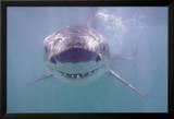 Großer weißer Hai Poster