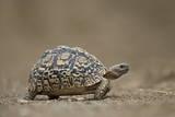 Leopard Tortoise (Geochelone Pardalis), Kruger National Park, South Africa, Africa Fotografisk tryk af  James