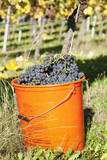 Bucket of Wine Grapes, Grape Harvest, Esslingen, Baden Wurttemberg, Germany Photographic Print by  Markus