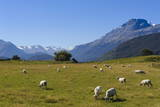 Sheep Grazing on a Green Field Fotoprint van  Michael