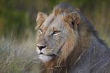 Lion (Panthera Leo), Kruger National Park, South Africa, Africa Fotografisk tryk af  James