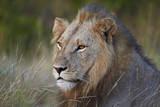 Lion (Panthera Leo), Kruger National Park, South Africa, Africa Stampa fotografica di  James