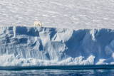 An Adult Polar Bear (Ursus Maritimus) on the Edge of a Huge Iceberg in Arctic Harbour Reproduction photographique par  Michael