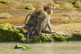 Crab-Eating (Long-Tailed) Macaque Monkey with Baby by a River, National Park at Pangandaran Stampa fotografica di  Rob