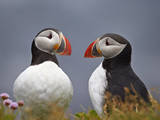 Atlantic Puffin (Fratercula Arctica) Pair, Iceland, Polar Regions Photographic Print by James Hager