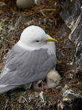 Black-Legged Kittiwake (Rissa Tridactyla) Adult and Two Chicks on the Nest, Iceland, Polar Regions Reproduction photographique par James Hager