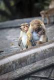 Mother and Baby Monkeys, Royal Caves, Dambulla, Sri Lanka, Asia Stampa fotografica di  Charlie