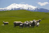 Sheep Grazing Beneath Mount Ruapehu Fotoprint van  Stuart