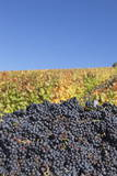 Red Wine Grapes with Colourful Vineyards in Autumn Photographic Print by  Markus