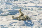 Adult Polar Bear (Ursus Maritimus) Cleaning Fur on Ice Floe Reproduction photographique par  Michael