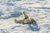 Adult Polar Bear (Ursus Maritimus) Cleaning Fur on Ice Floe Photographic Print by  Michael