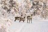 Reindeers Near Ivalo, Finland Photographic Print by Françoise Gaujour
