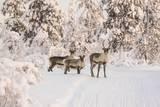 Reindeers Near Ivalo, Finland Lámina fotográfica por Françoise Gaujour