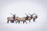 A Small Herd of Bull Elk Walk Through a Blizzard in the National Elk Refuge, Jackson, Wyoming Impressão fotográfica por Mike Cavaroc
