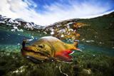 Underwater View of a Male Brook Trout in Patagonia Argentina Fotografisk trykk av Matt Jones
