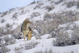 A Coyote Stands Alert in Snow in Yellowstone National Park, Wyoming Impressão fotográfica por Mike Cavaroc