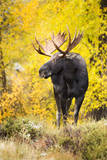 A Bull Moose with Wet Fur Walks from Fall Cottonwood Trees in Grand Teton National Park, Wyoming Impressão fotográfica por Mike Cavaroc