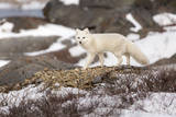 An Arctic Fox Walks Through Snow as it Stalks Potential Prey in Churchill, Manitoba, Canada Impressão fotográfica por Mike Cavaroc