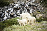 A Mountain Goat and Her Two Offspring Walk across a Mountain Meadow, Mt Quandary, Colorado Fotoprint van Dan Holz