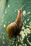 A Large Snail in Kauai, Hawaii Reproduction photographique par Sergio Ballivian