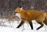 A Red Fox Runs Through Snow in Churchill, Manitoba, Canada Impressão fotográfica por Mike Cavaroc