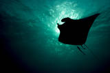 A Manta Ray Feeding Near the Surface Silhouetted Against a Sunburst in the Late Afternoon Fotografisk trykk av Eric Peter Black