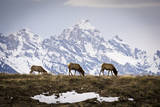 Three Cow Elk Stand in Front of the Grand Teton in Grand Teton National Park, Wyoming Impressão fotográfica por Mike Cavaroc