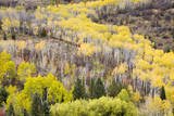 Fall Leaves Top the Aspen Trees North of Alpine, Wyoming Impressão fotográfica por Mike Cavaroc